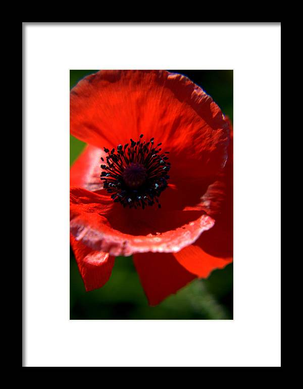 Nature Framed Print featuring the photograph Blue On Red Poppy by Eldon Roberts