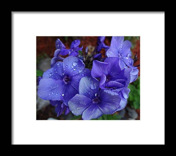Flowering Garden Perennial Framed Print featuring the photograph Blue Paradise Phlox by Sarah Malley