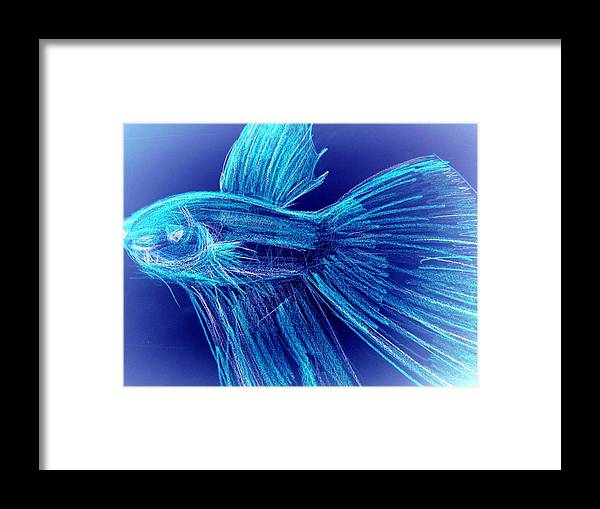 Framed Print featuring the photograph Blue Siamese Fighting Fish by Miss McLean