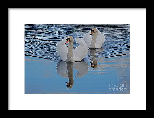 Swans Framed Print featuring the photograph Blue Sky And Two Swans by Doug Thwaites