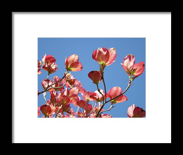 Dogwood Framed Print featuring the photograph Blue Sky Art Prints Pink Dogwood Flowers 16 Dogwood Tree Art Prints Baslee Troutman by Baslee Troutman