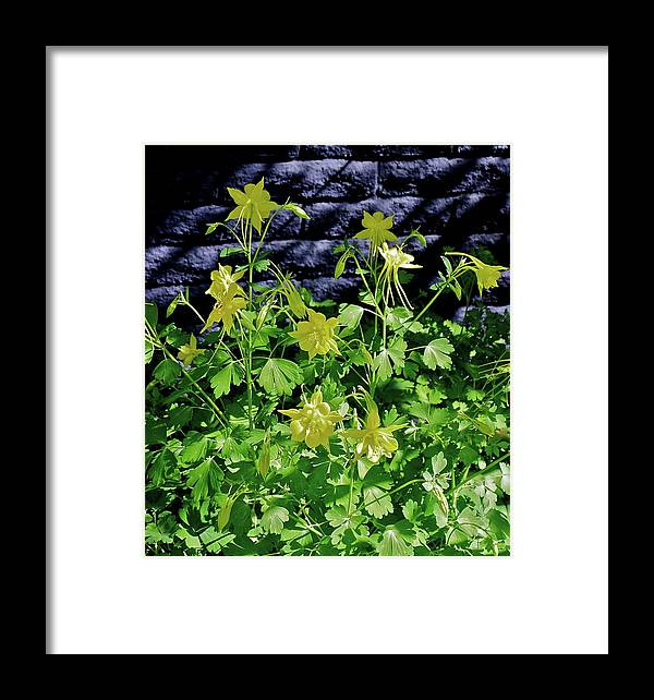 Botanical Framed Print featuring the photograph Blue Wall Yellow Columbine by Bonnie See