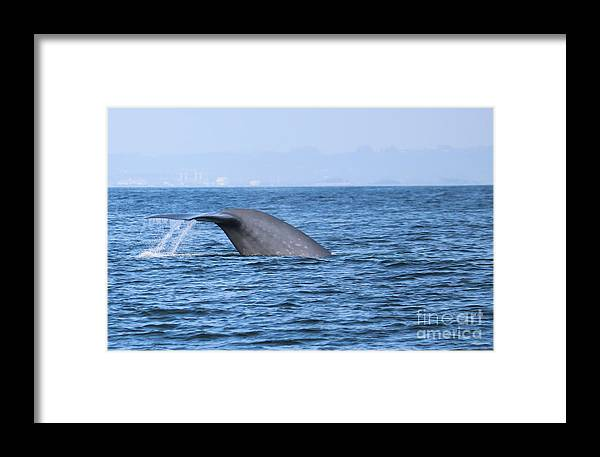 Blue Whale Framed Print featuring the photograph Blue Whale Tail Flop by Suzanne Luft
