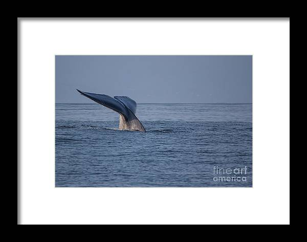 Blue Framed Print featuring the photograph Blue Whale Tail by Suzanne Luft