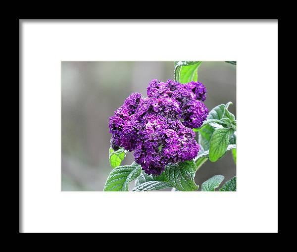 Blue Wonder Heliotrope Framed Print featuring the photograph Blue Wonder Heliotrope by Carol McGrath