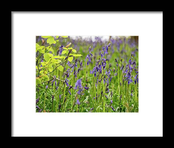 Judy Woods Framed Print featuring the photograph Bluebells In Judy Woods by Mike Walker