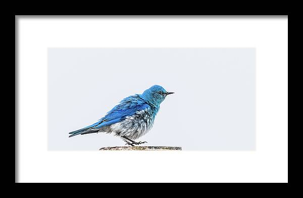 Bluebird Framed Print featuring the photograph Bluebird Dances A Spring Jig by Yeates Photography