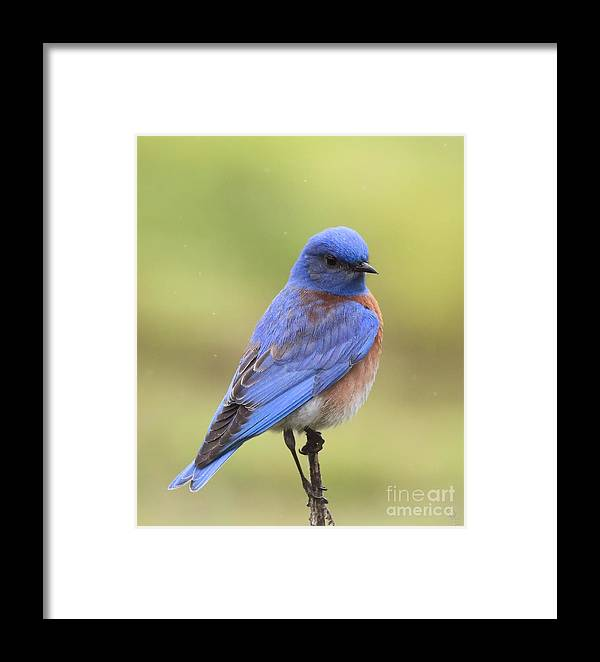 Bluebird Framed Print featuring the photograph Bluebird Of Happiness by Cheryl Gidding