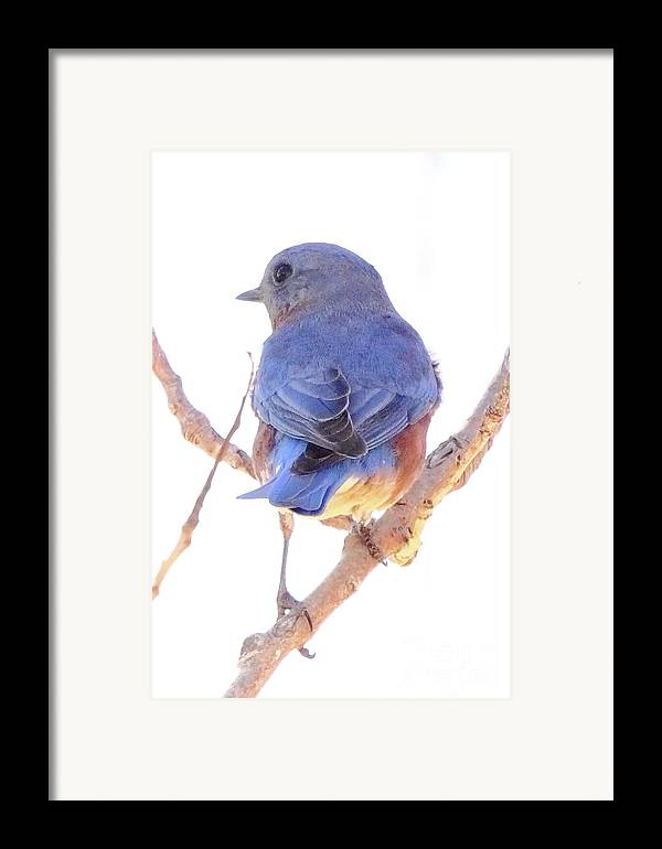 Animal Framed Print featuring the photograph Bluebird On White by Robert Frederick