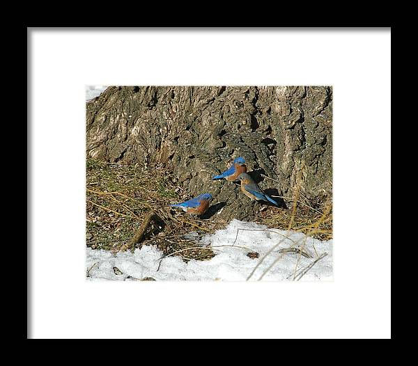 Bird Framed Print featuring the photograph Bluebirds In Spring by Judd Nathan