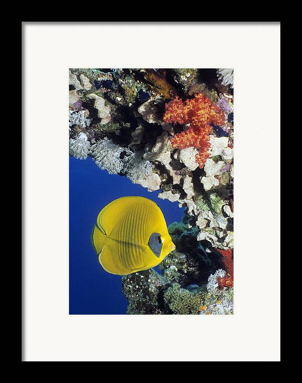 Chaetodon Semilarvatus Framed Print featuring the photograph Bluecheek Butterflyfish by Georgette Douwma