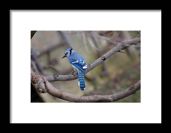 Nature Framed Print featuring the photograph Bluejay1 by Paul Gavin