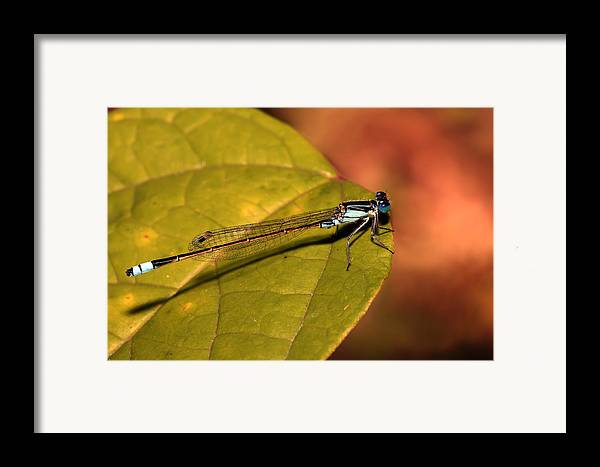 Framed Print featuring the photograph Bluetail At Sunset by Lesley Smitheringale