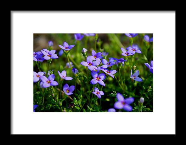 Bluet Framed Print featuring the photograph Bluets by Kathryn Meyer