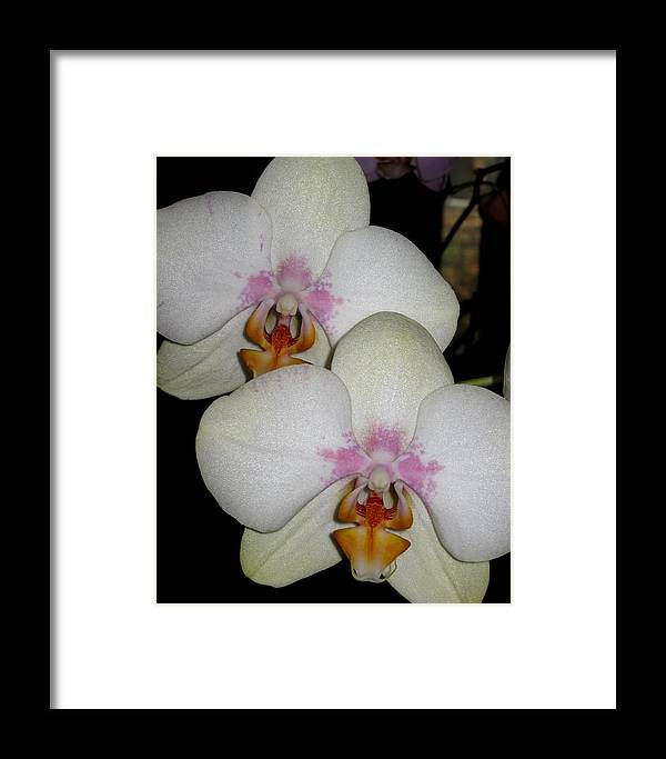 Orchid Framed Print featuring the photograph Blush by Betnoy Smith
