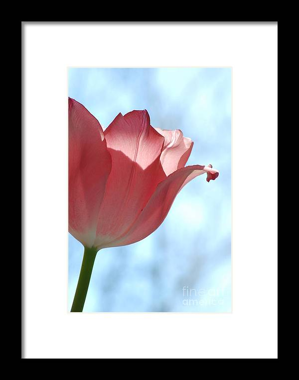 Tulip Framed Print featuring the photograph Blush by Michelle Hastings
