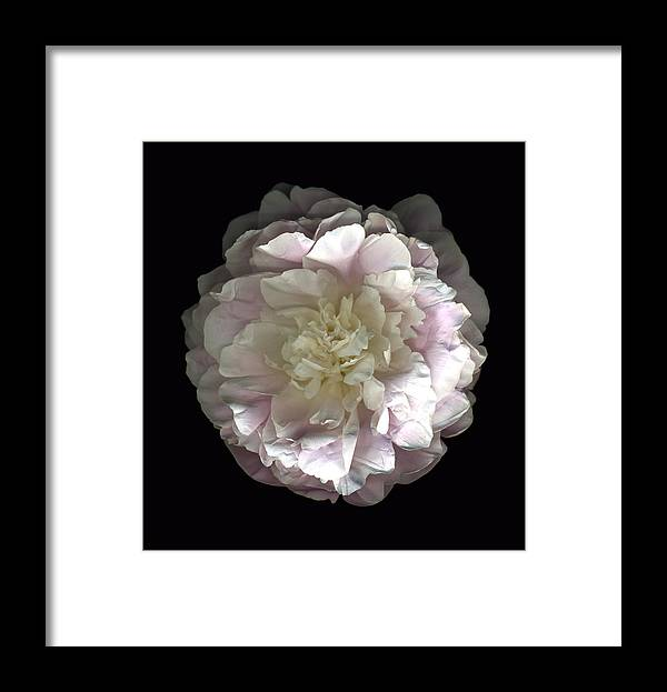 Scanography Framed Print featuring the photograph Blush Peony Open by Deborah J Humphries