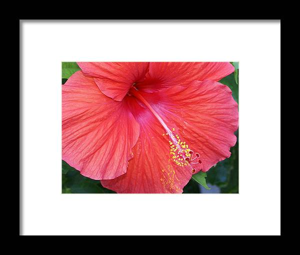 Flowers Framed Print featuring the photograph Blushing Stamen by Debbie May