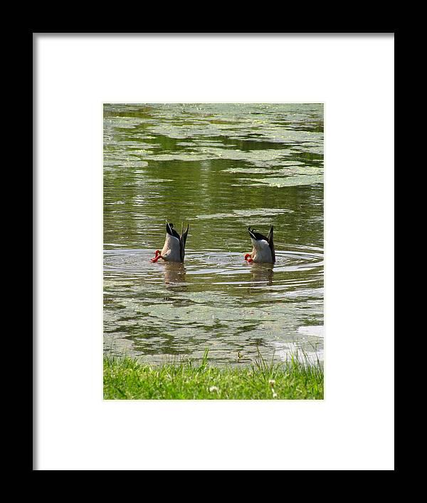 Mallard Ducks Framed Print featuring the photograph Bobbing Mallards by Dawn Davis