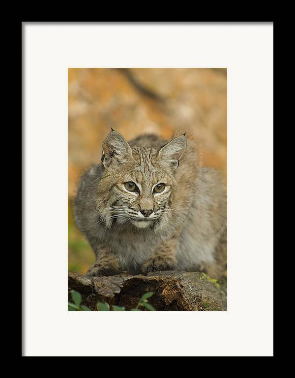 Alertness Framed Print featuring the photograph Bobcat Felis Rufus by Grambo Photography and Design Inc.