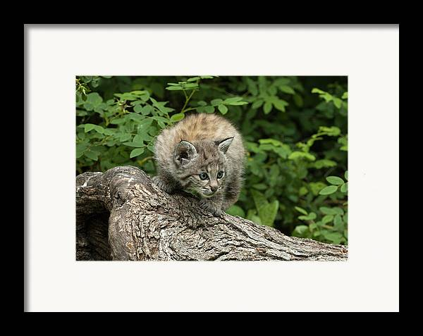 Bobcat Framed Print featuring the photograph Bobcat Kitten Exploration by Sandra Bronstein