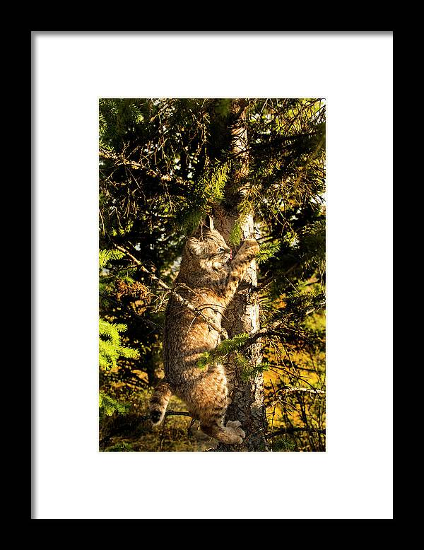 Bobcat Framed Print featuring the photograph Bobcat up a tree by Roy Nierdieck