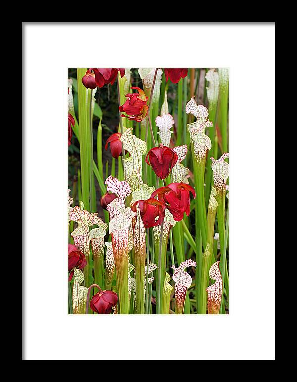 Pitcher Plants Framed Print featuring the photograph Bog In Bloom by Katherine White