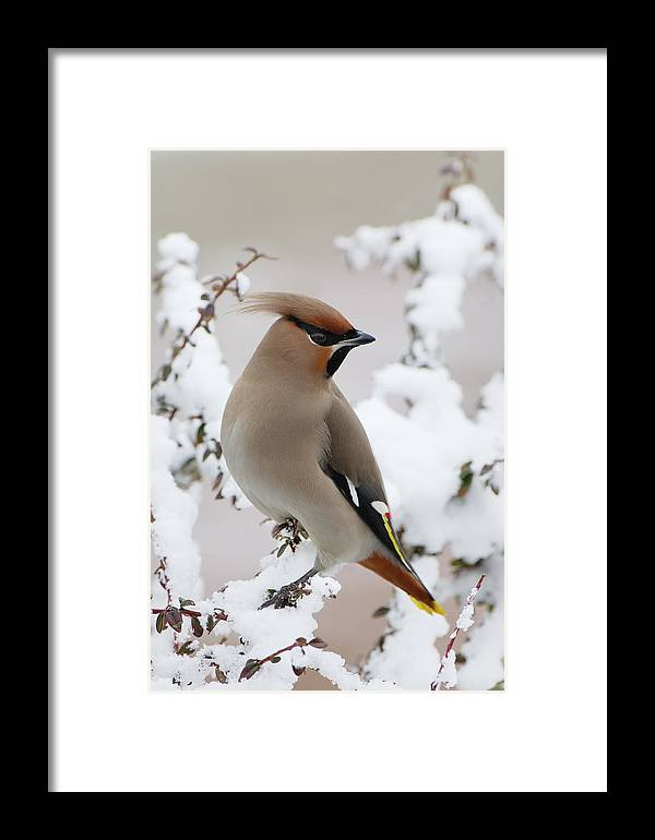 Fn Framed Print featuring the photograph Bohemian Waxwing Bombycilla Garrulus by Jan Vermeer