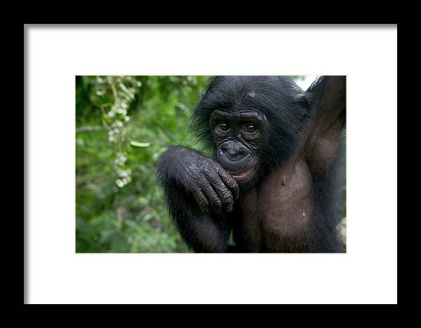Mp Framed Print featuring the photograph Bonobo Pan Paniscus Juvenile Orphan by Cyril Ruoso
