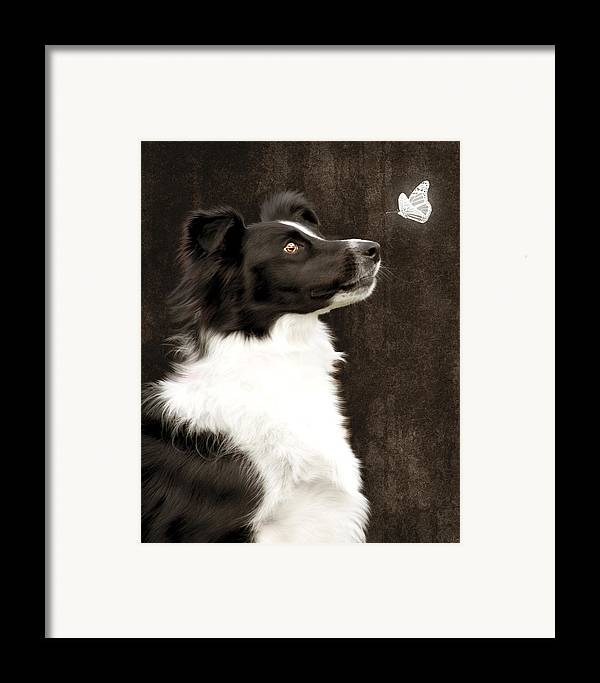 Dog Framed Print featuring the photograph Border Collie Dog Watching Butterfly by Ethiriel Photography