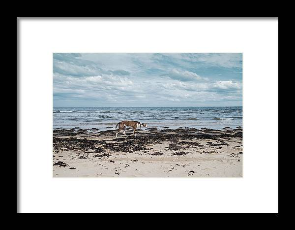 Dog Framed Print featuring the photograph Borzoi Dog Stalking Alnmouth Beach by Jean Gill
