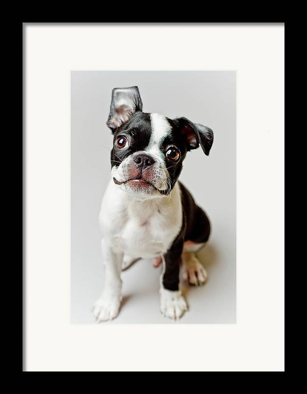 Vertical Framed Print featuring the photograph Boston Terrier Dog Puppy by Square Dog Photography