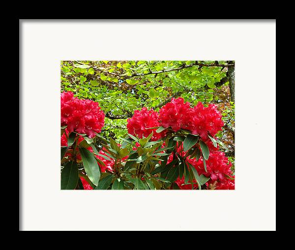 Rhodies Framed Print featuring the photograph Botanical Garden Art Prints Red Rhodies Trees Baslee Troutman by Baslee Troutman