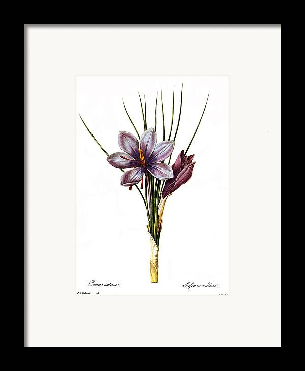 1833 Framed Print featuring the photograph Botany: Saffron by Granger