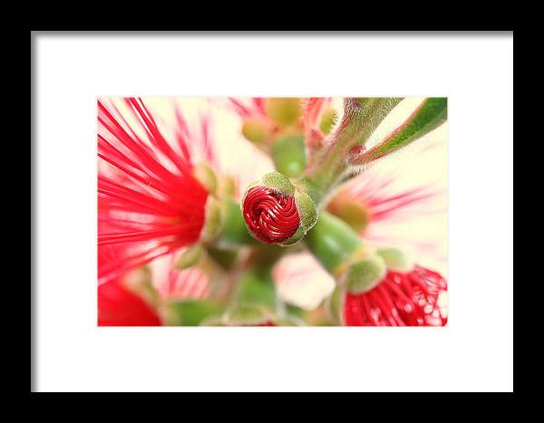 Bottle Brush Framed Print featuring the photograph Bottle Brush Bloom by Kerry Reed