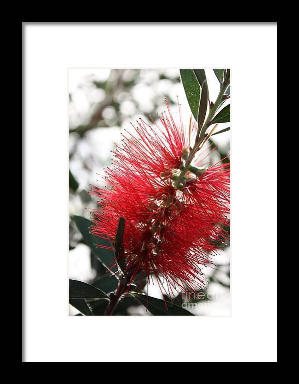 Bottlebrush Flower Framed Print featuring the photograph Bottlebrush Closeup by Carol Groenen