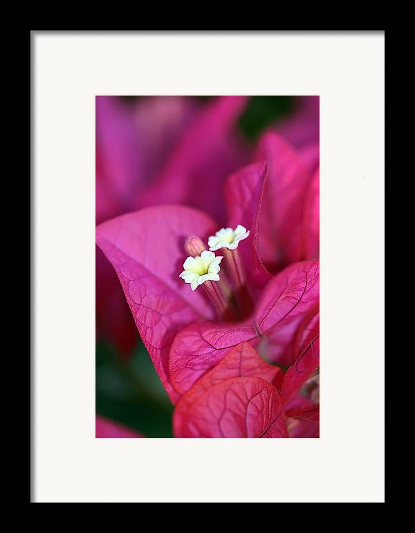 Bougainvillea Framed Print featuring the photograph Bougainvillea Burst by Lesley Smitheringale