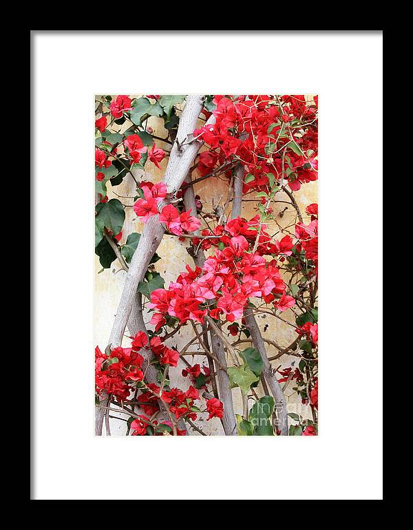 Bougainvilla Framed Print featuring the photograph Bougainvillea by Carol Groenen