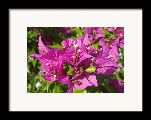Flowers Framed Print featuring the photograph Bougainvillea by Frederic Kohli