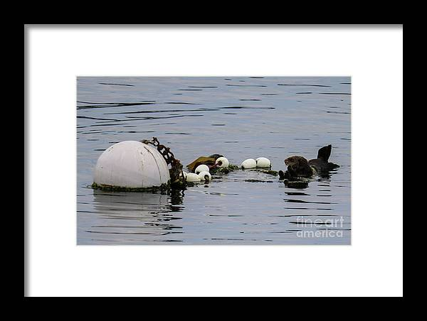 Sea Otter Framed Print featuring the photograph Bouyed Sea Otter by Suzanne Luft
