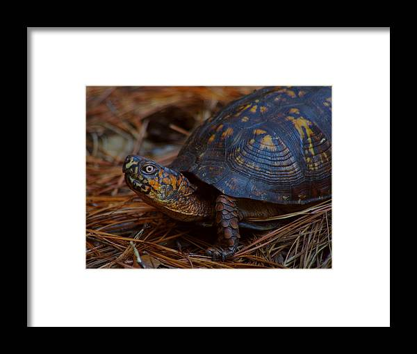 Male Framed Print featuring the photograph Box Turtle 2 by Aaron Rushin