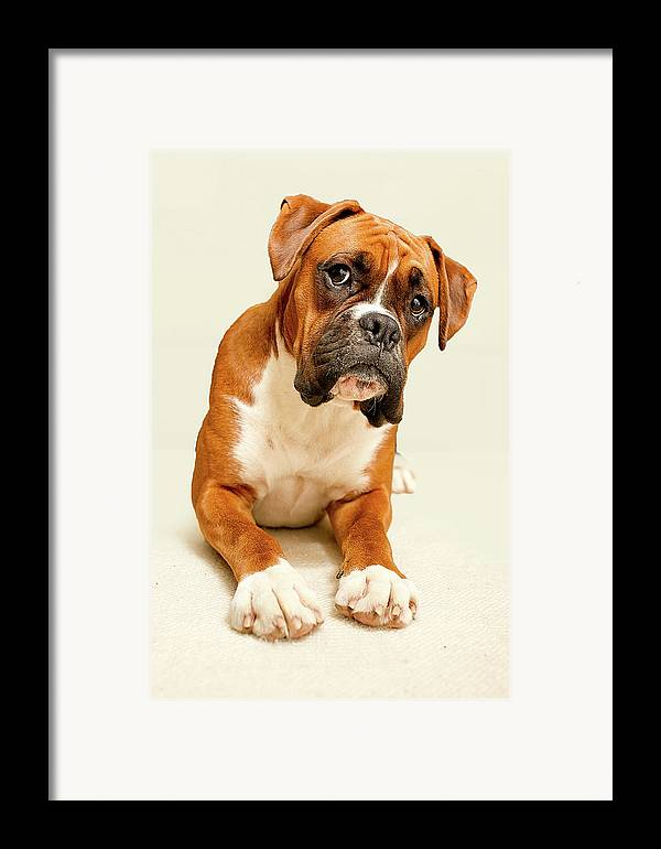 Vertical Framed Print featuring the photograph Boxer Dog On Ivory Backdrop by Danny Beattie Photography
