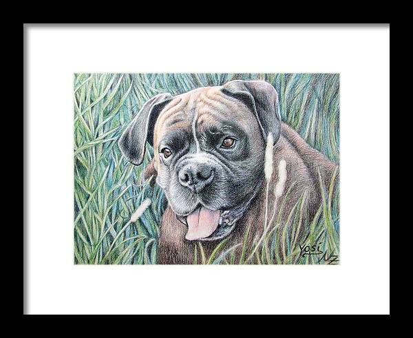 Dog Framed Print featuring the drawing Boxer Yosi by Nicole Zeug