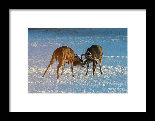 White Tailed Deer Framed Print featuring the photograph Boys Will Be Boys by Sandra Updyke