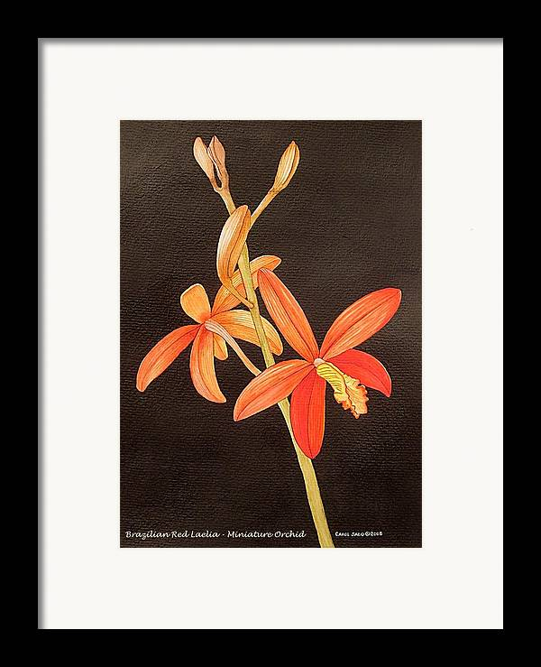 Art Framed Print featuring the painting Brazilian Red Laelia-miniature Orchid by Carol Sabo