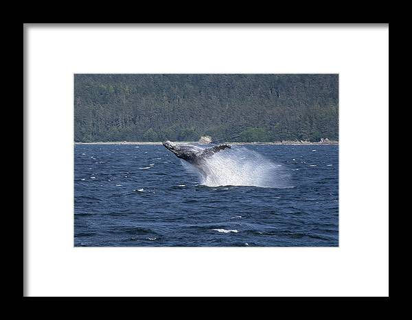 Whale Framed Print featuring the photograph Breaching Whale Paint by Richard J Cassato