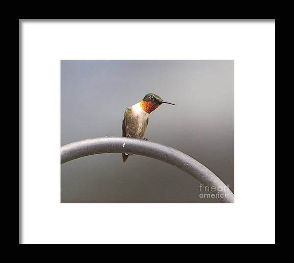 Humming Related Tags: Tulips Artwork Framed Print featuring the photograph Break Time by Robert Pearson