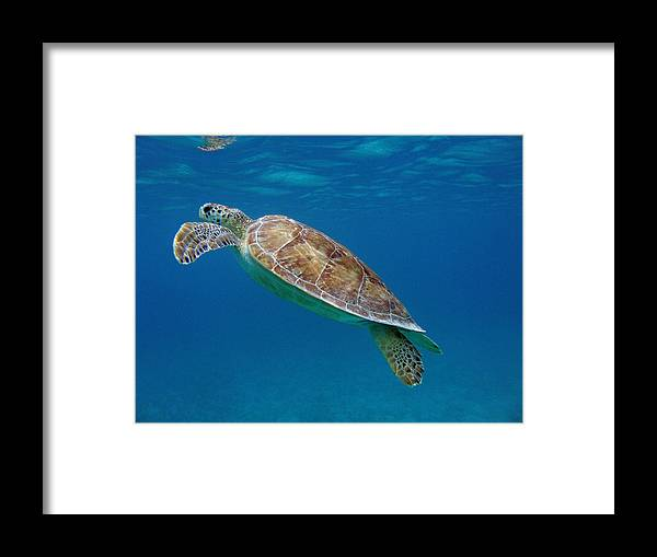 Green Sea Turtle Framed Print featuring the photograph Breathe Green by Kimberly Mohlenhoff