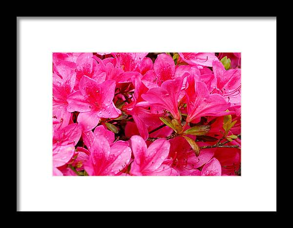 Flowers Framed Print featuring the photograph Bright Pink Rhododendrons by Sonja Anderson