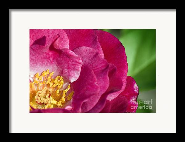 Rose Framed Print featuring the photograph Bright Rose Bloom by Jeannie Burleson
